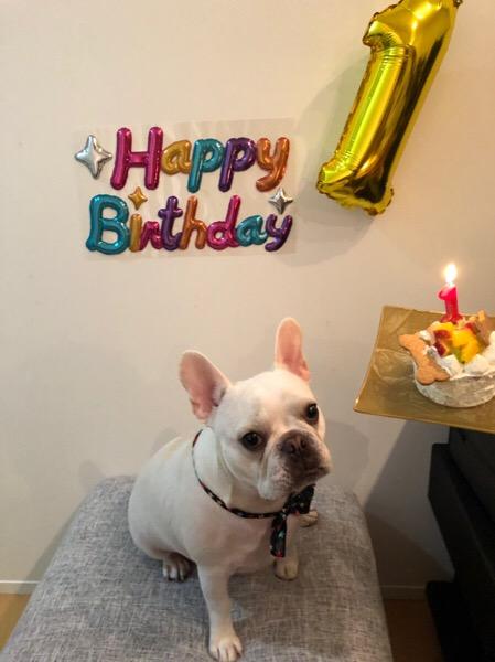 今日はしゃろえの【一歳の誕生日】「フレンチブルドック しゃろえ日記」